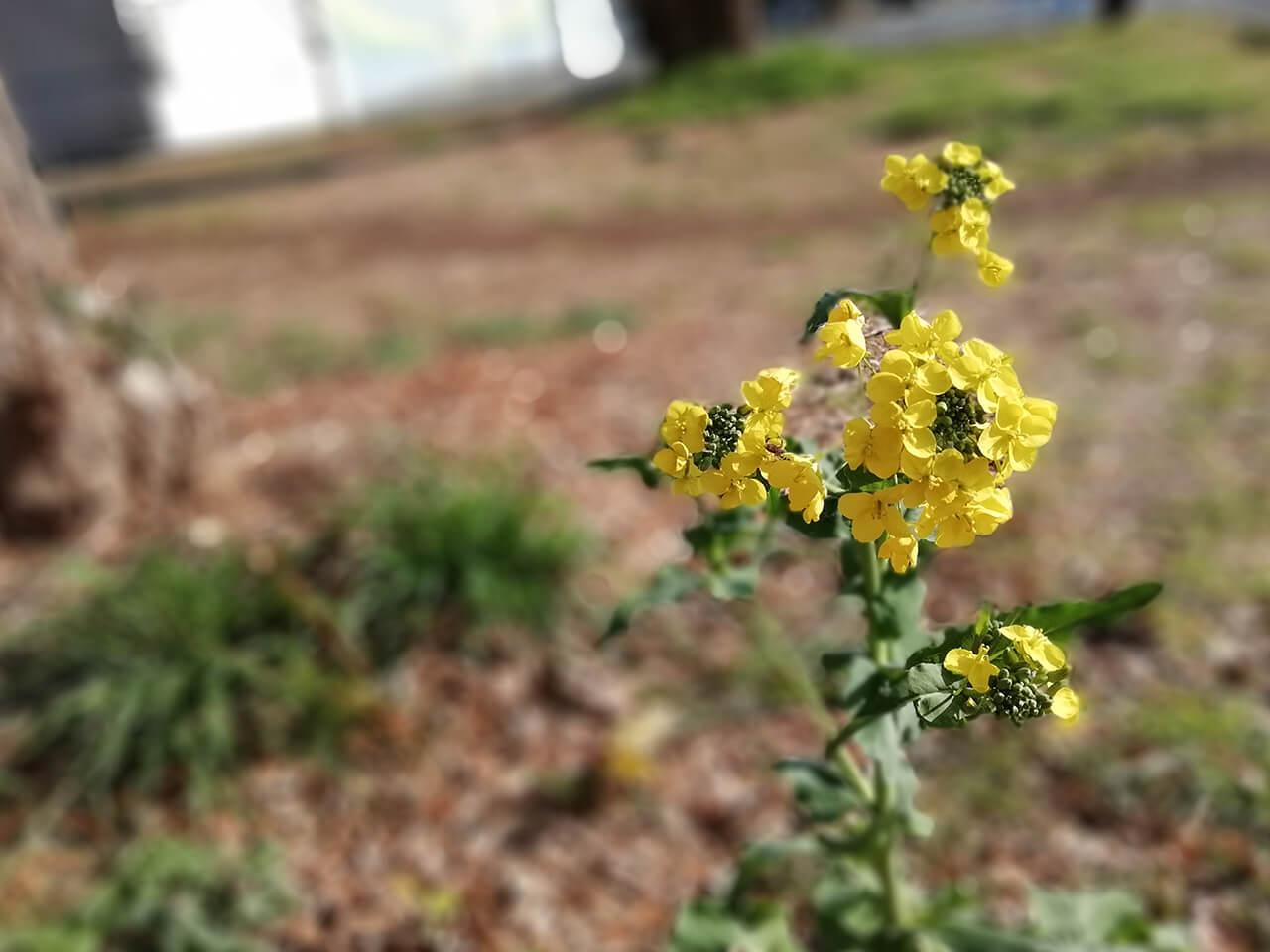 honor 9 Liteのワイドアパーチャモードで撮影した菜の花の写真。完全に一眼で撮った写真みたい!