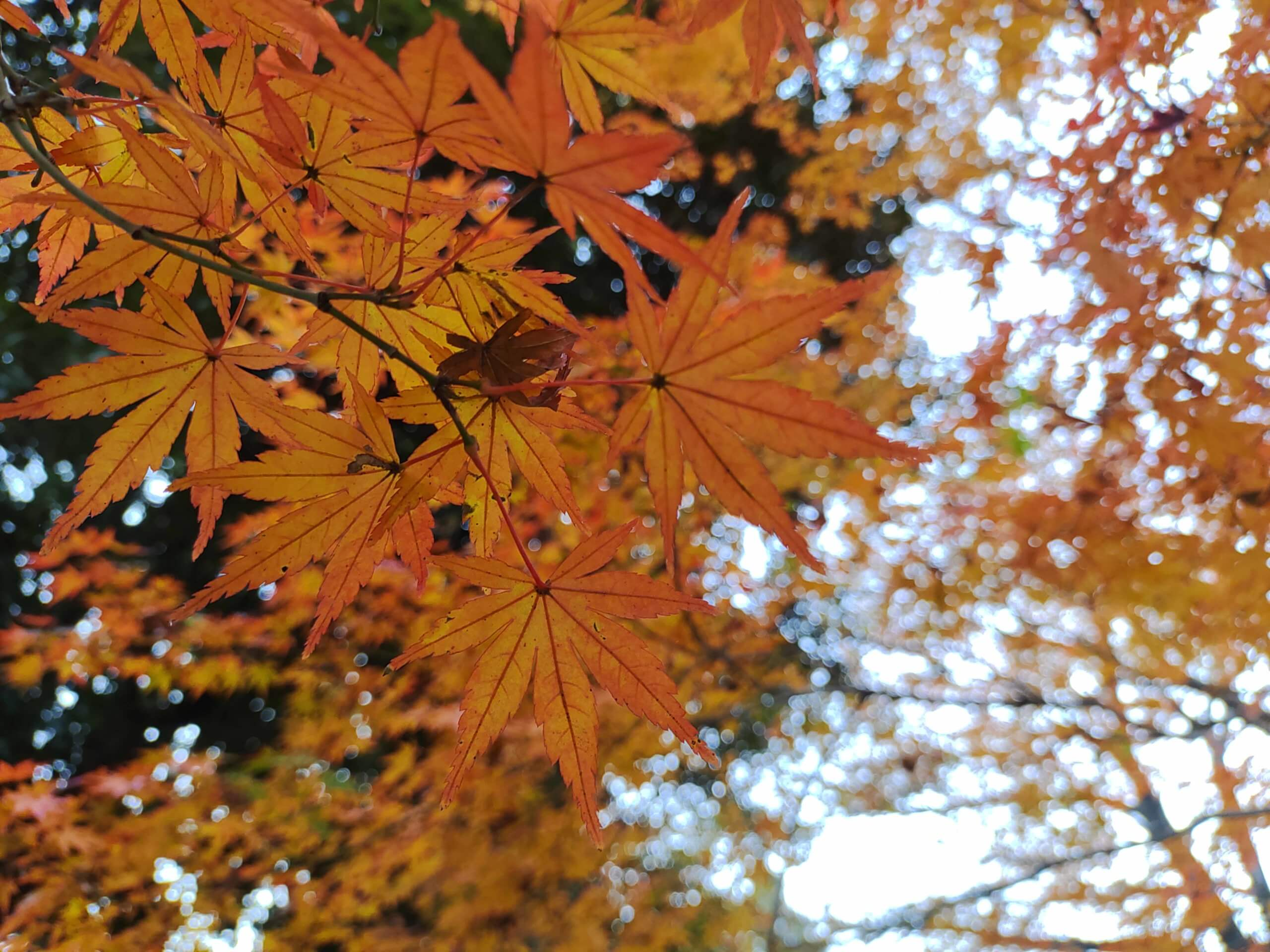 Rakuten Handで撮影した紅葉の写真