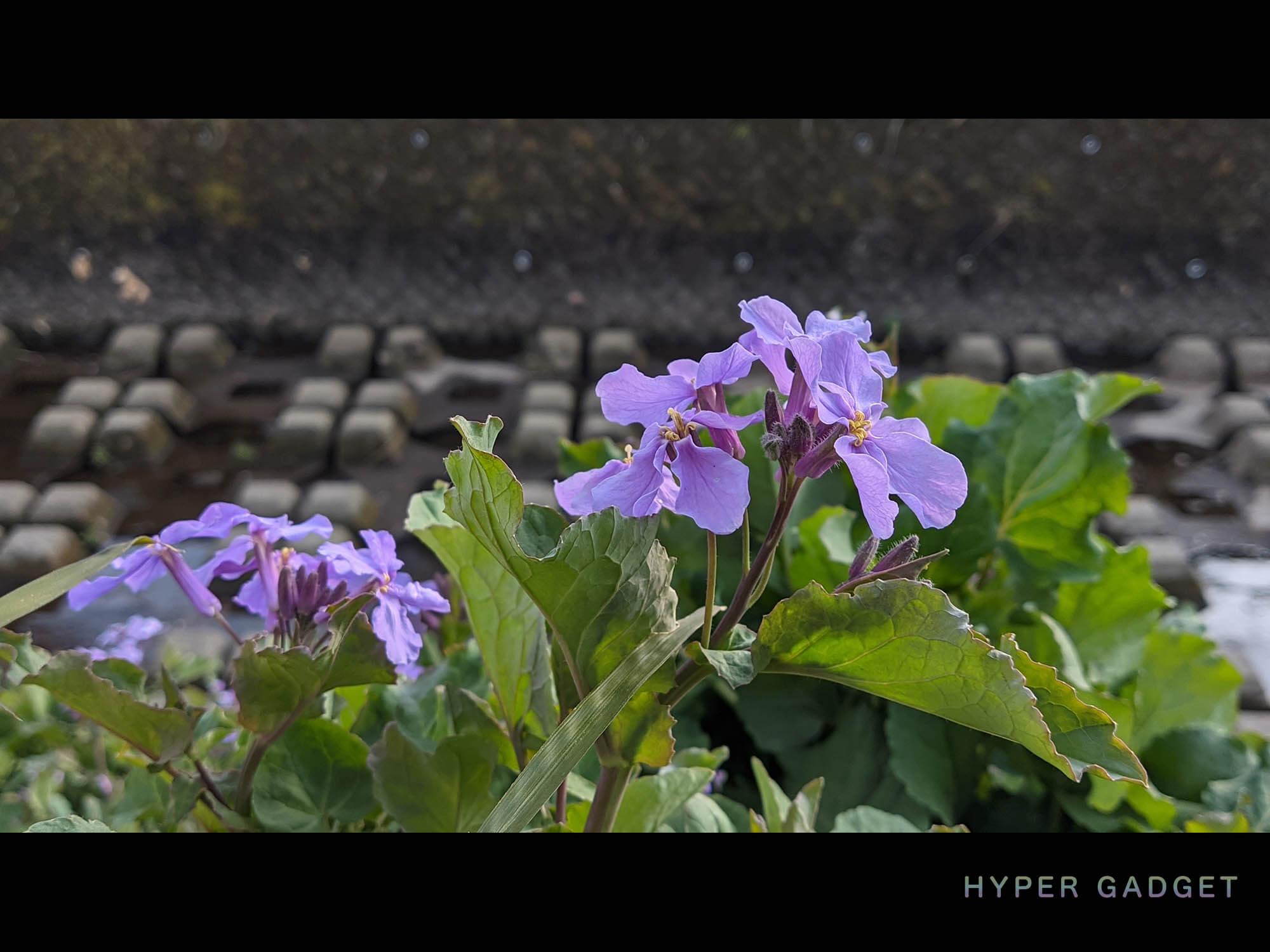 Xiaomi Redmi 9TにGCamを入れて撮影した河原の紫の花