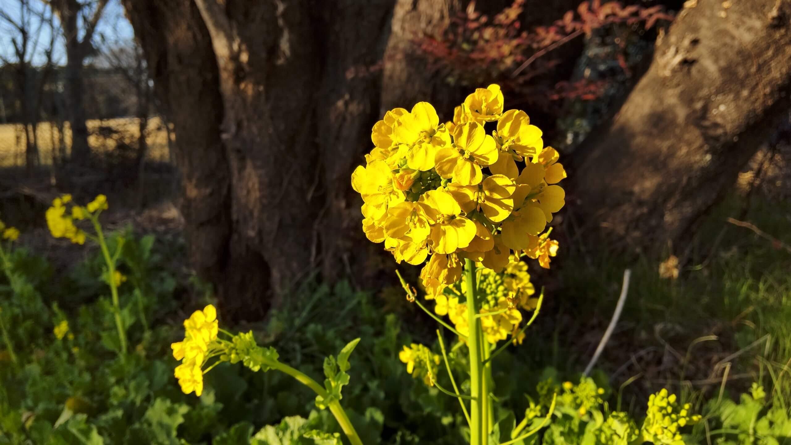 AQUOS sense4で撮影した菜の花