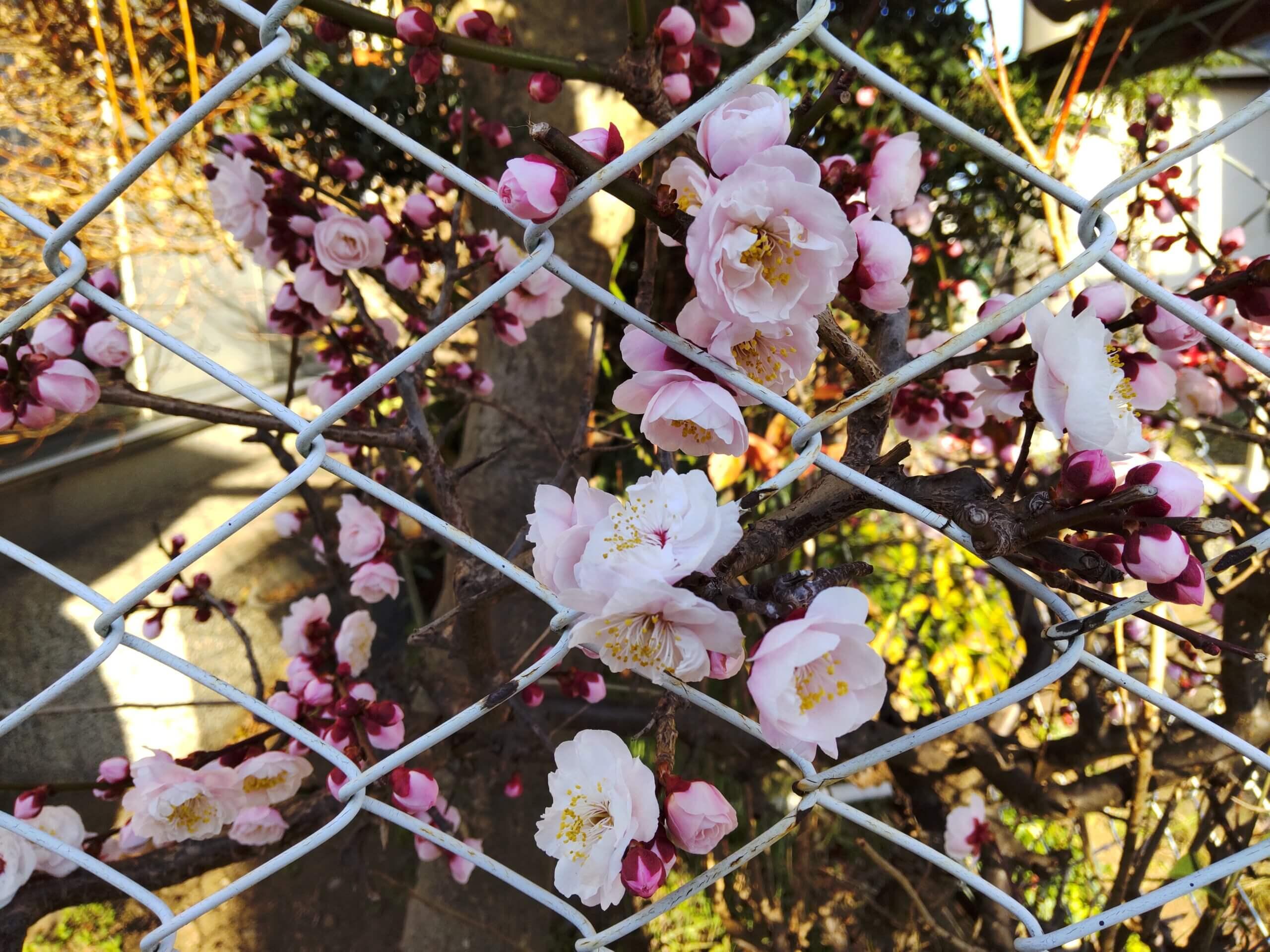 AQUOS sense4で撮影した梅の花