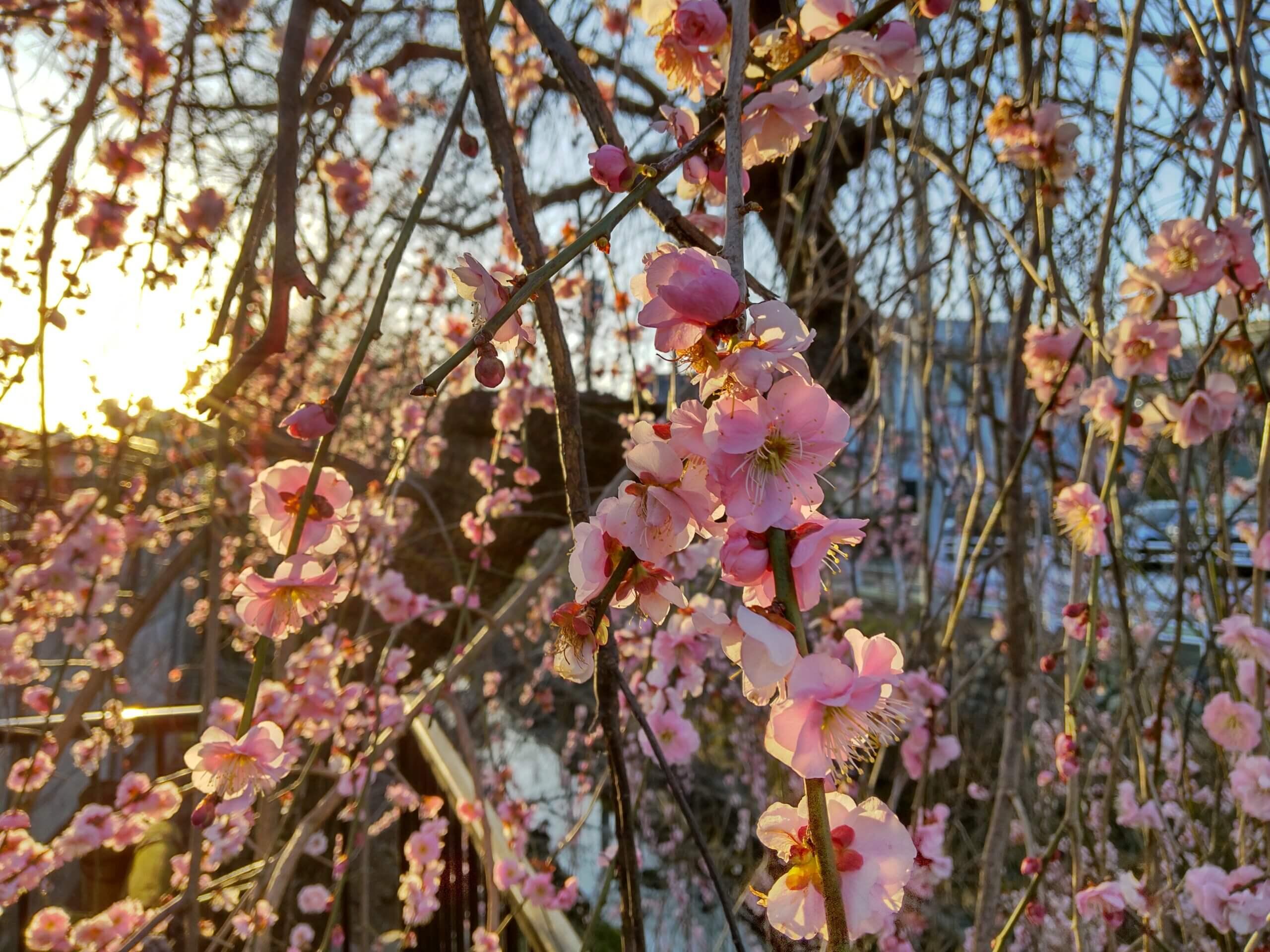 AQUOS sense4で撮影した夕刻の梅の花