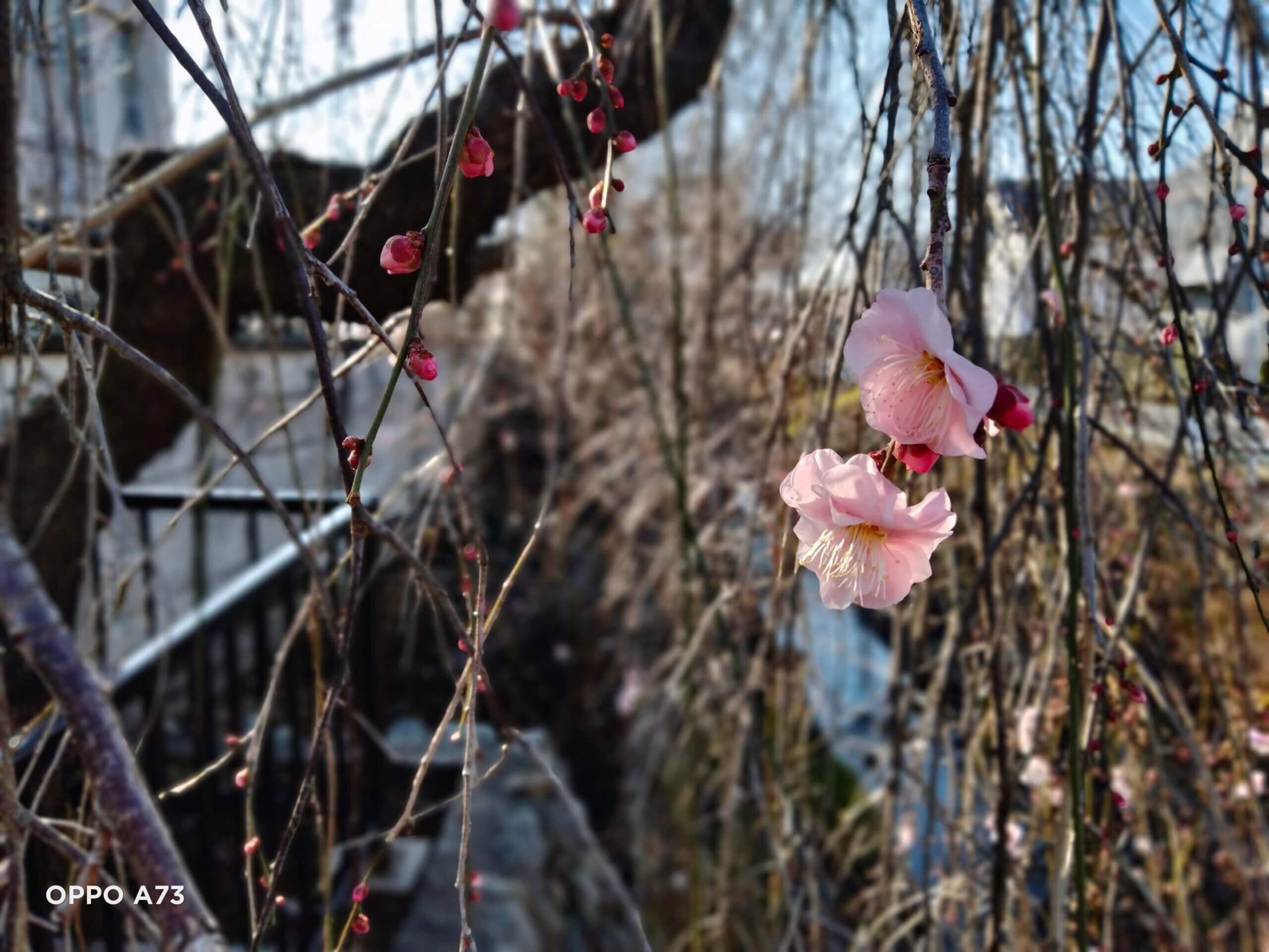 OPPO A73で撮影した花の写真