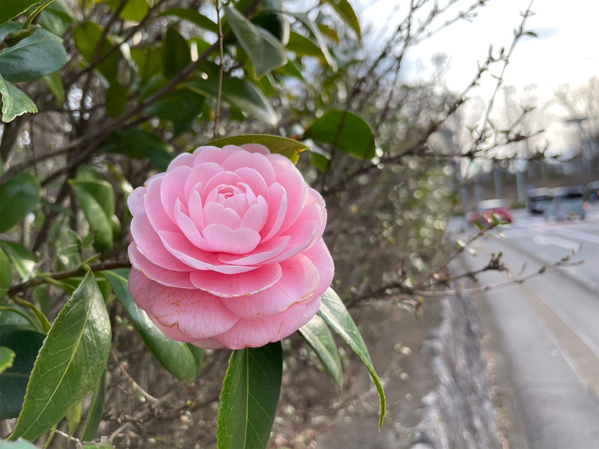 iPhone 12 miniで撮影した椿の花