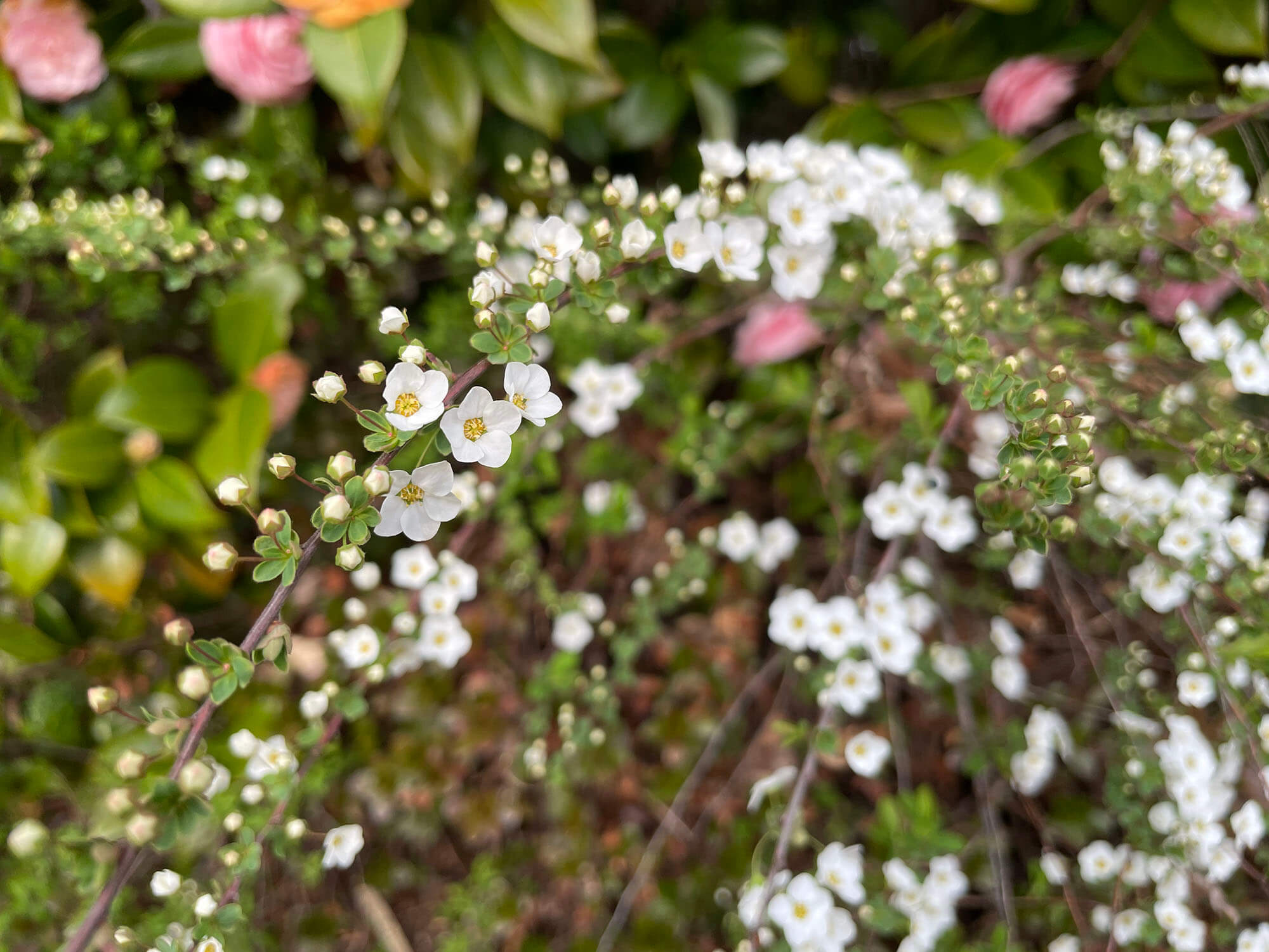 iPhone 12 miniで撮影した白い花