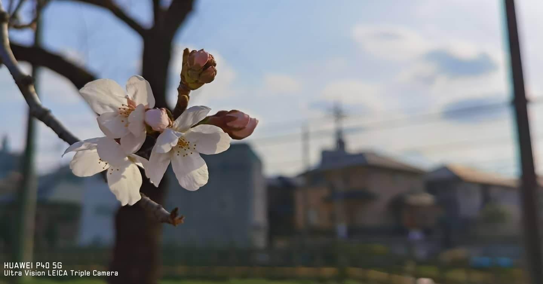 Huawei P40で撮影した桜