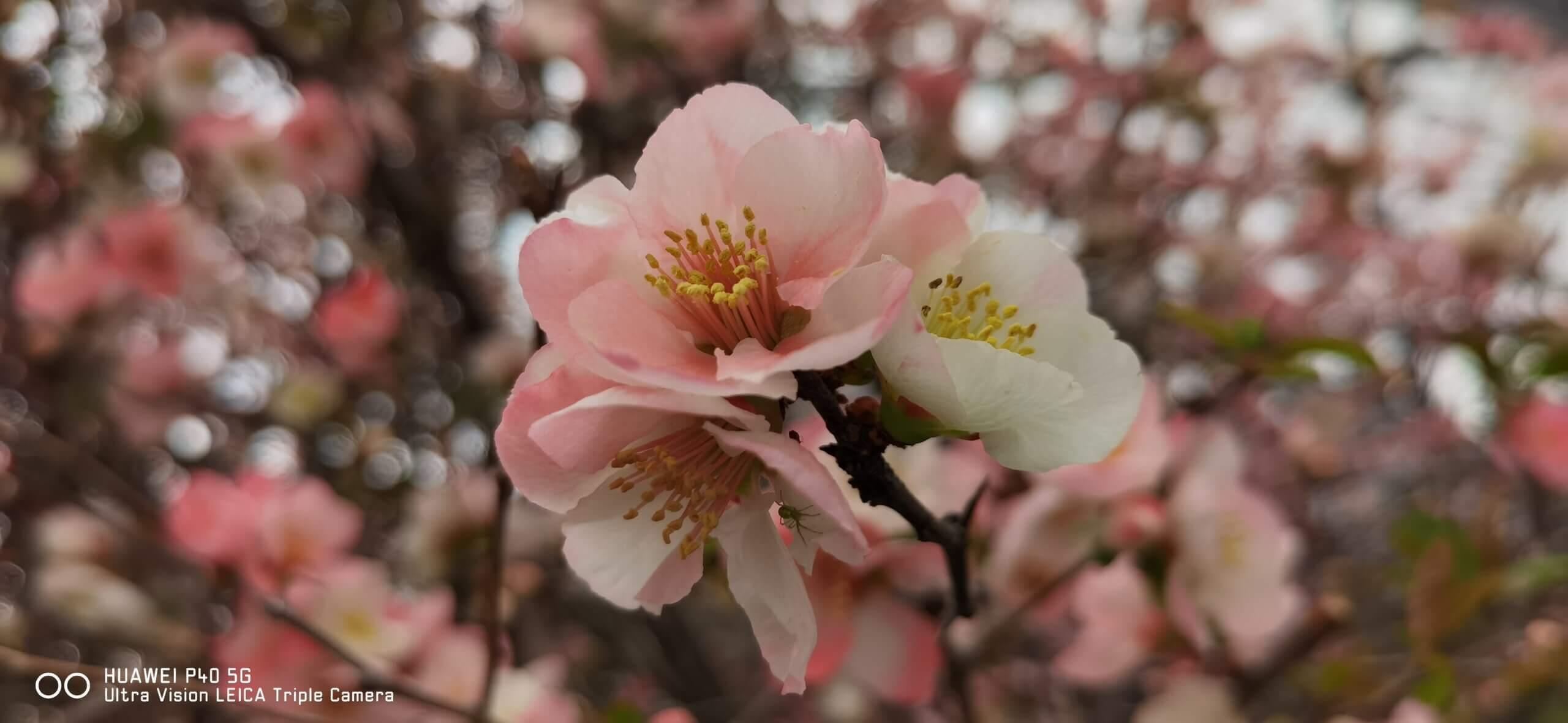 Huawei P40で撮影したぼけの花