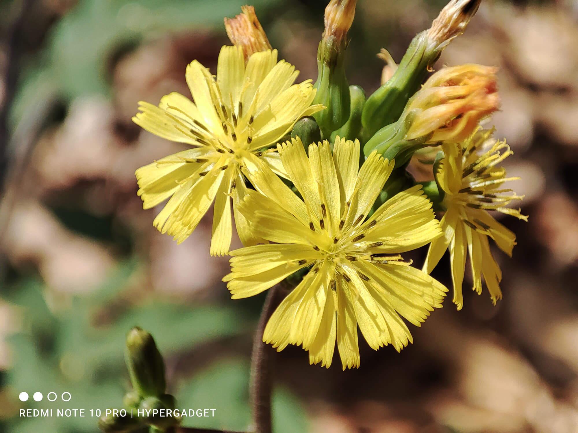 Redmi Note 10 Proのマクロカメラで撮影した黄色い花