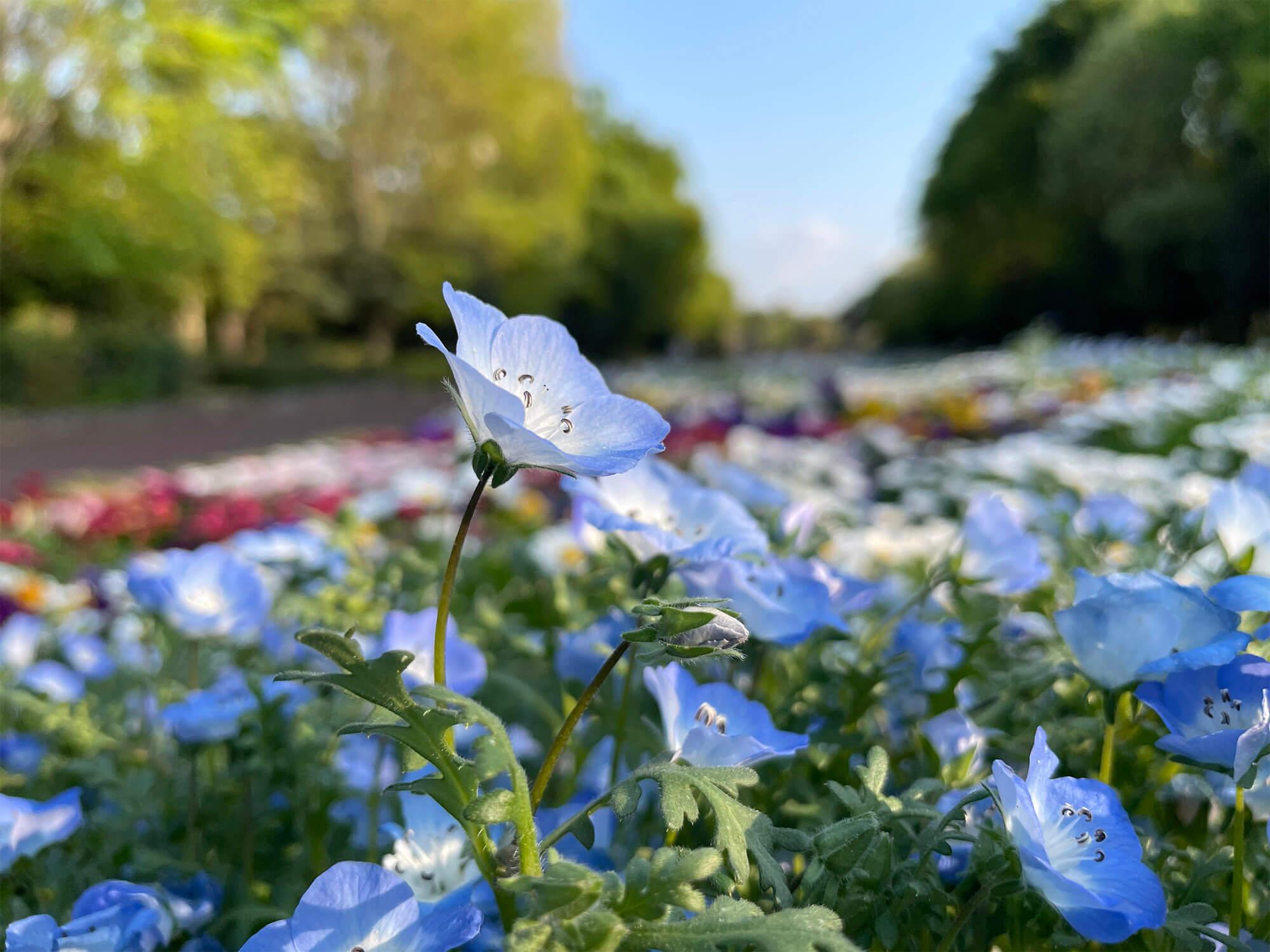 iPhone 12 miniのメインカメラで撮影した青い花の画像