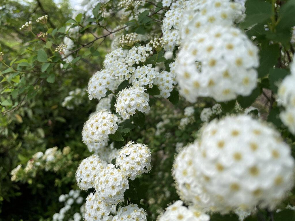 iPhone 12 miniのメインカメラで撮影した白い花の画像
