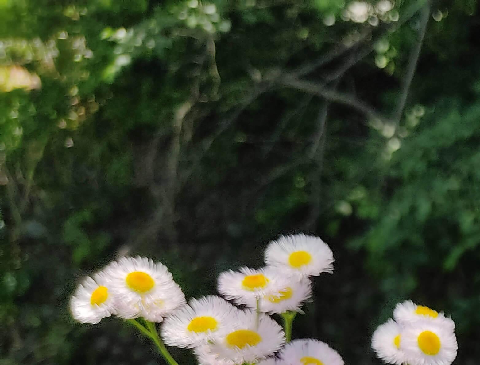 Redmi Note 9Sで撮影した白い花の画像を拡大