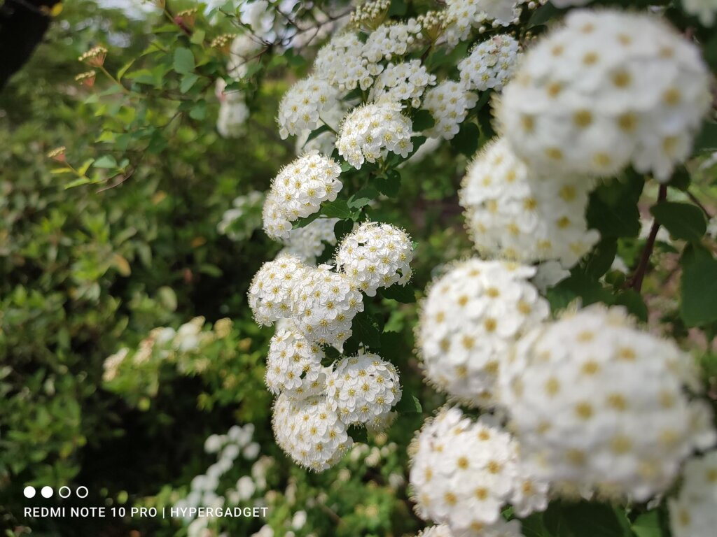 Redmi Note 10 Proのメインカメラで撮影した白い花の画像
