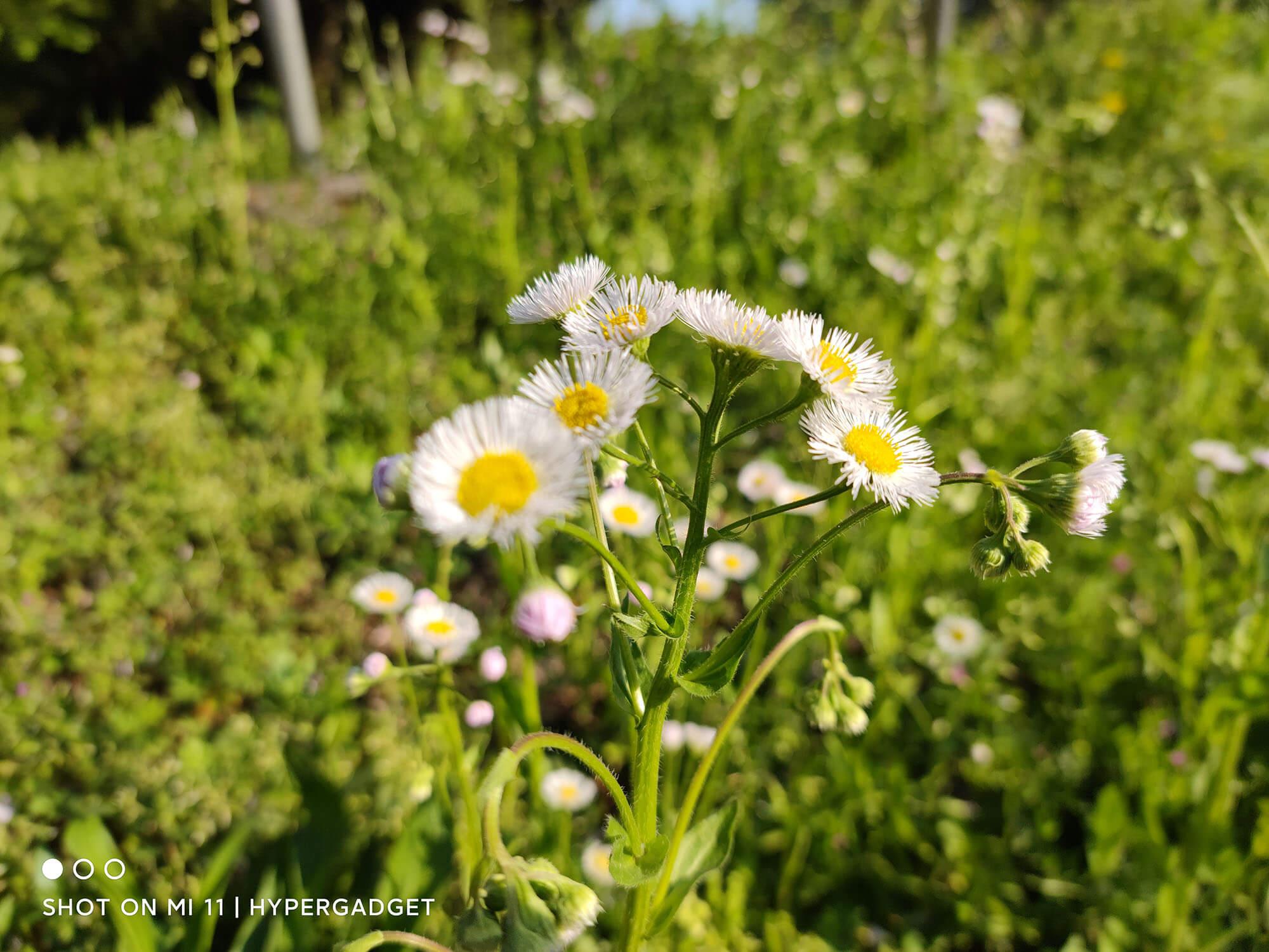 Mi 11で撮影した白い花の画像