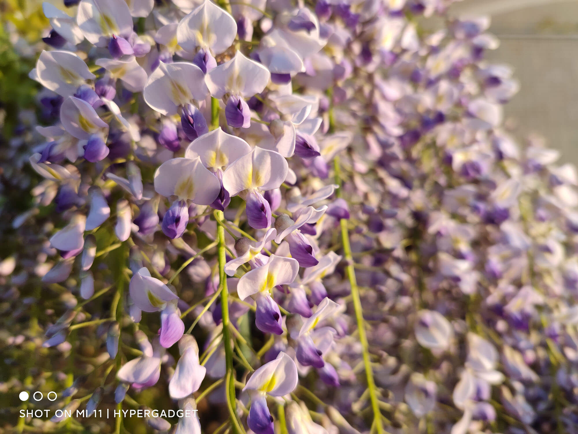 Xiaomi Mi 11で撮影した藤蔓の花