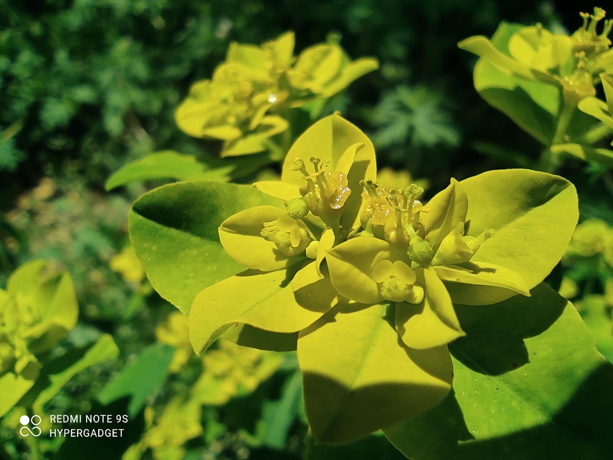 Redmi Note 9Sで撮影した黄色い花