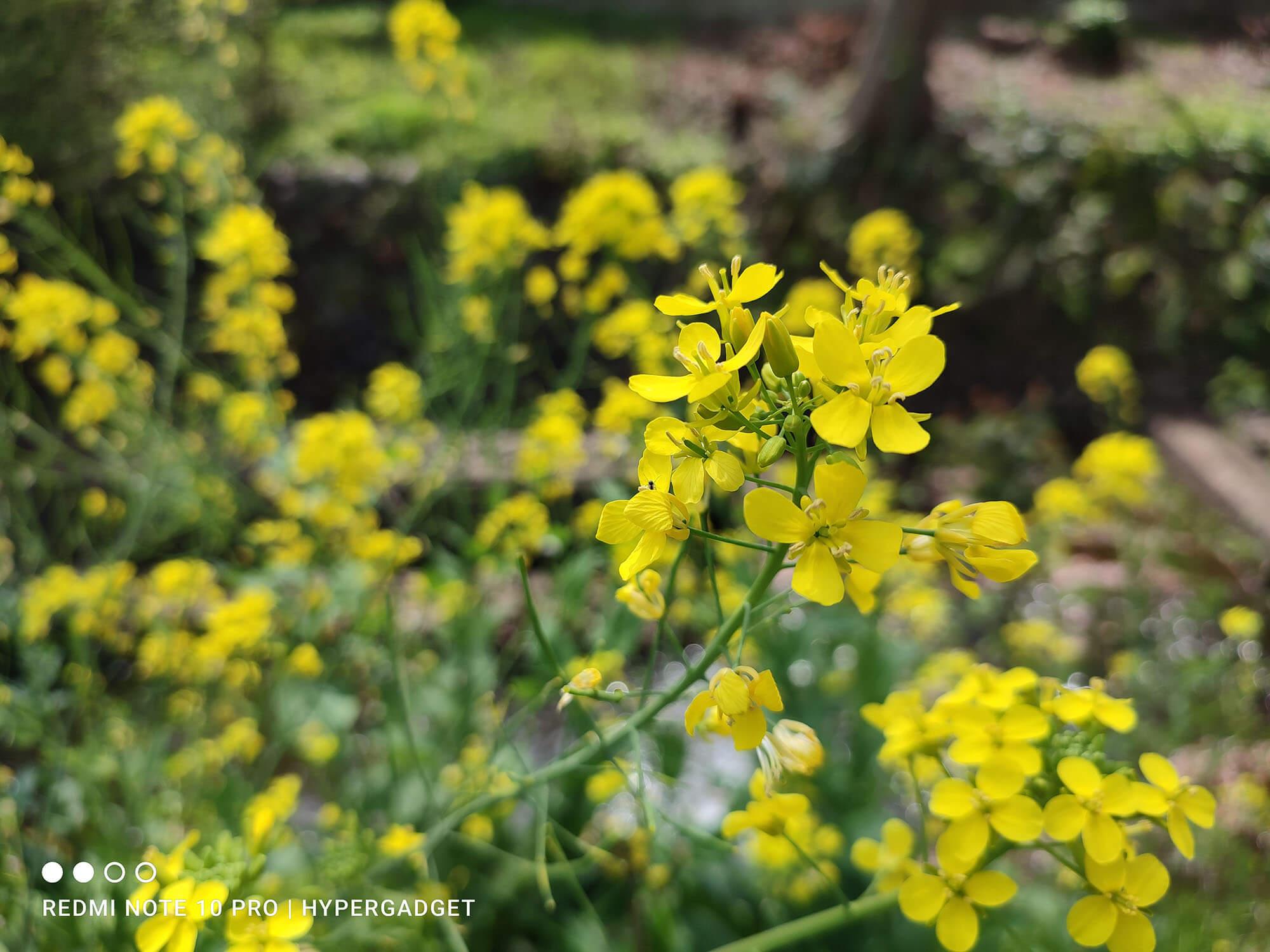 Redmi Note 10 Proで撮影した菜の花の画像