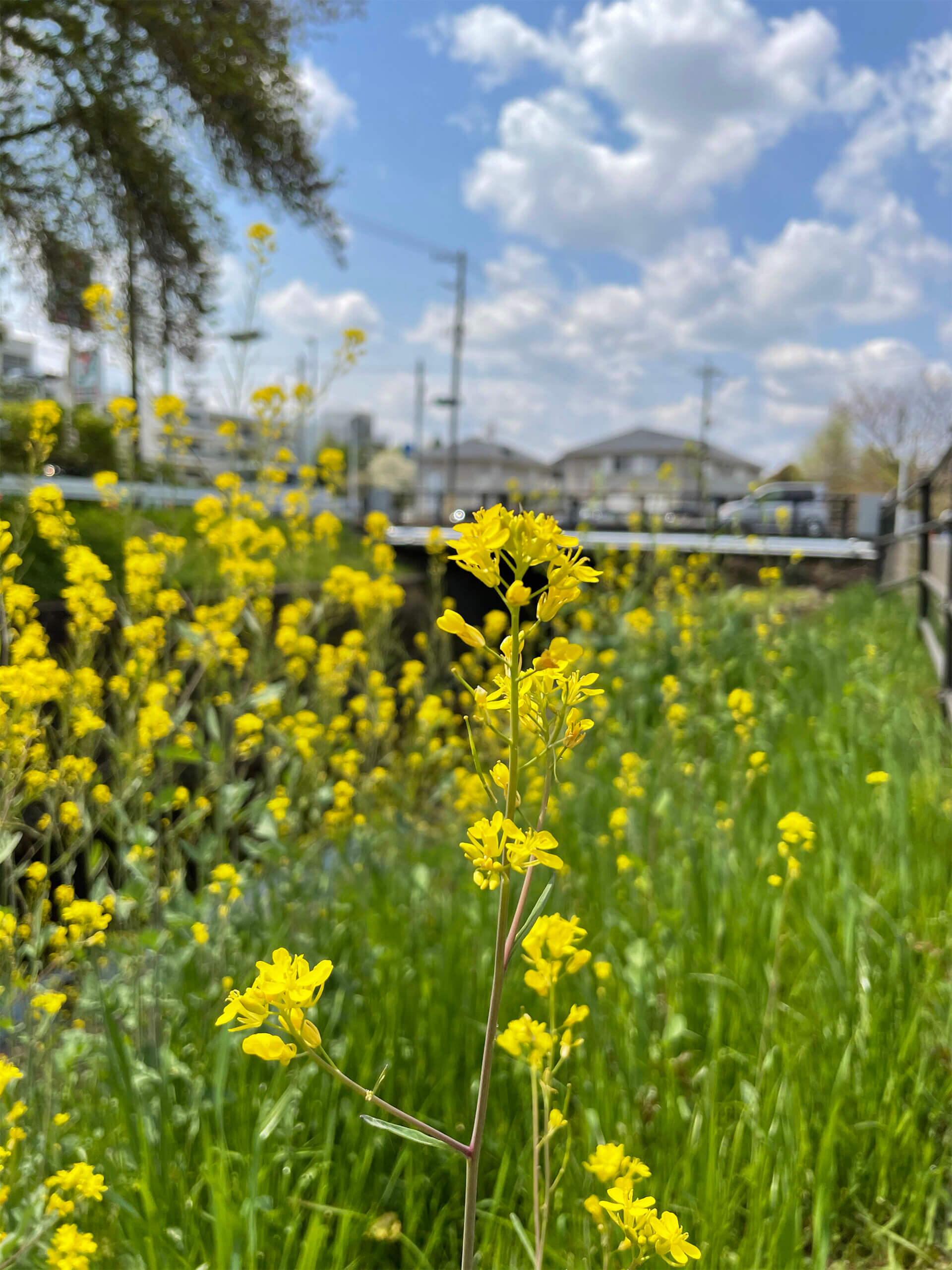 iPhone 12 miniのメインカメラで撮影した菜の花の青空の風景