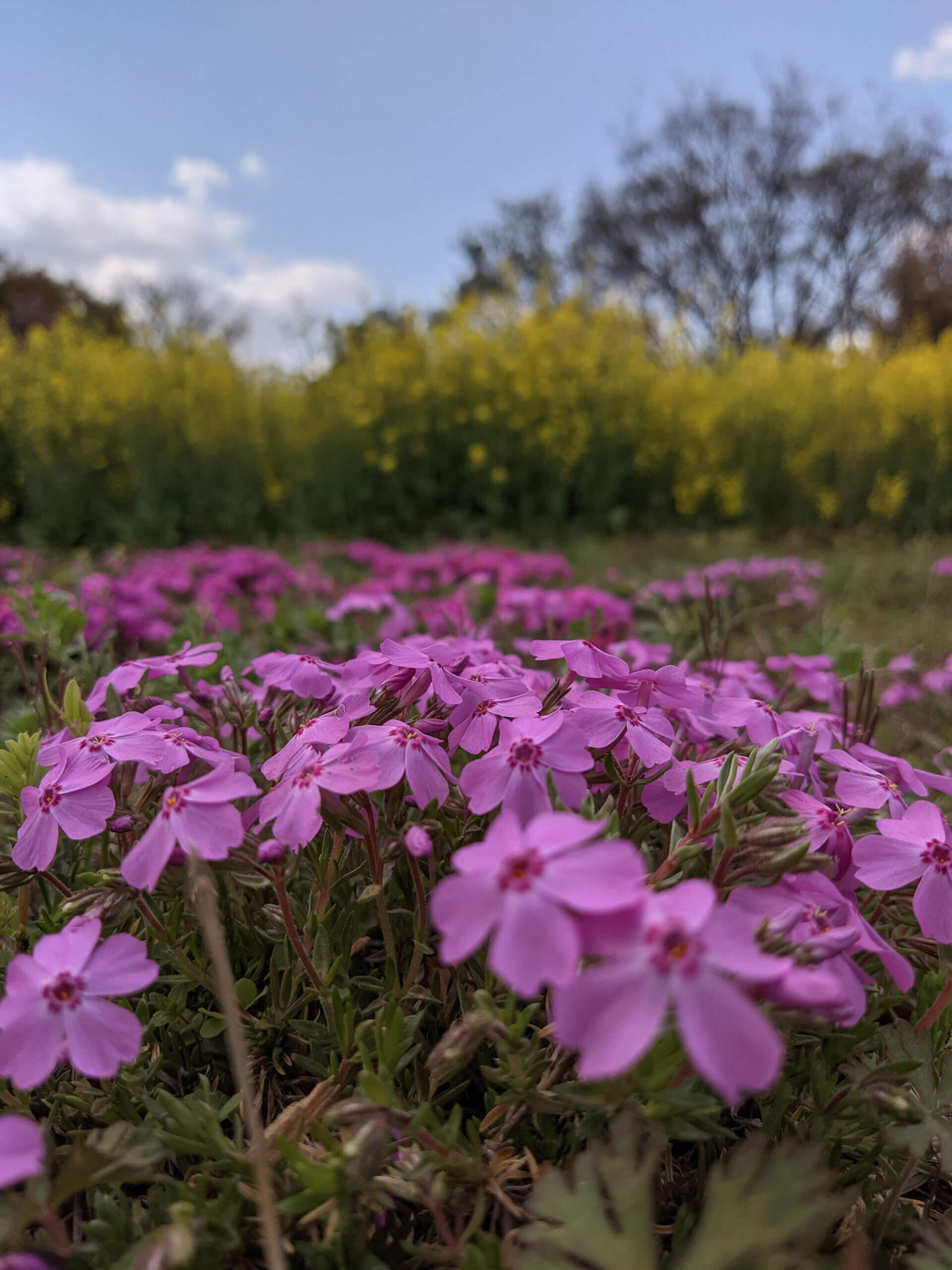 Redmi 9Tで撮影したピンクの花