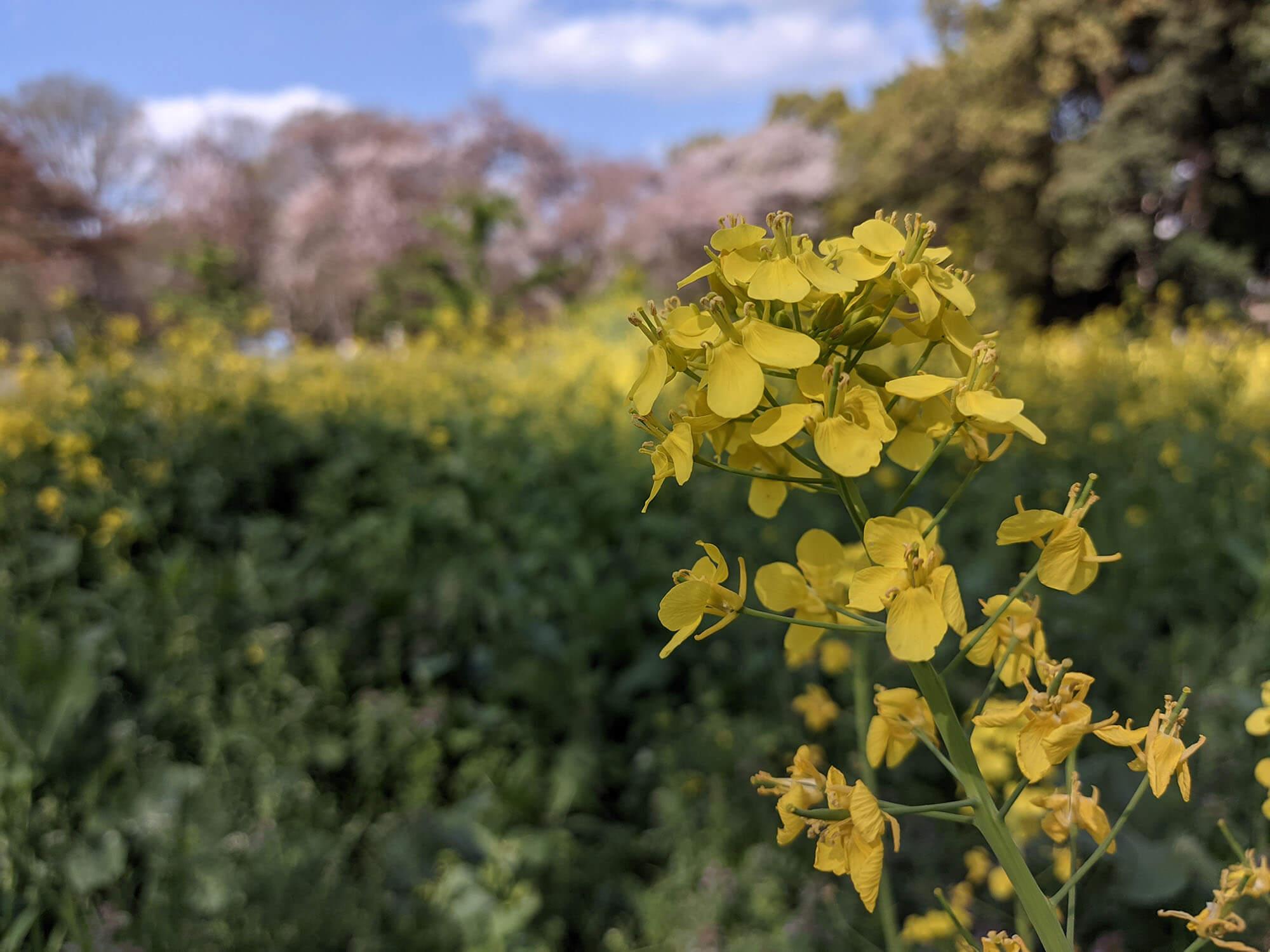 Redmi 9Tで撮影した菜の花と桜の写真