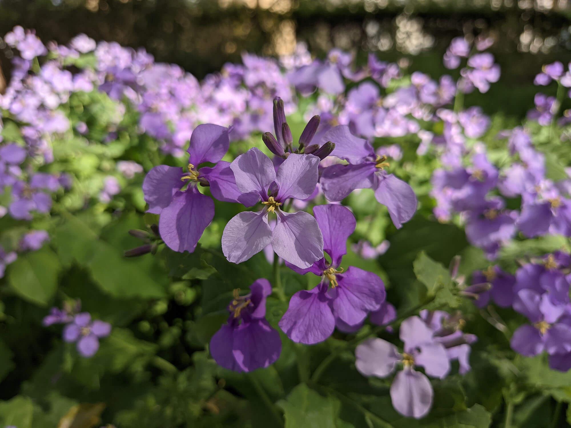 Redmi 9Tで撮影した紫の花その2