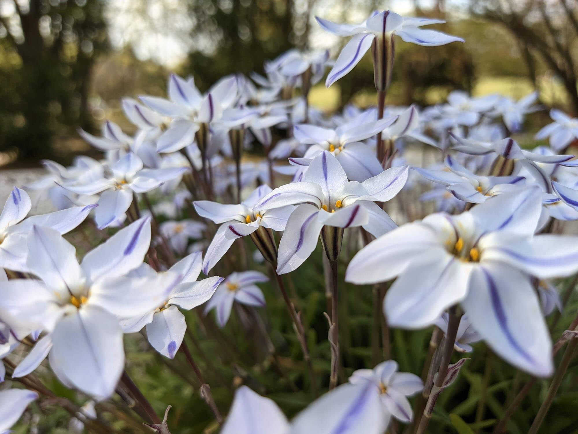 Redmi 9Tで撮影したうすむらさきの花
