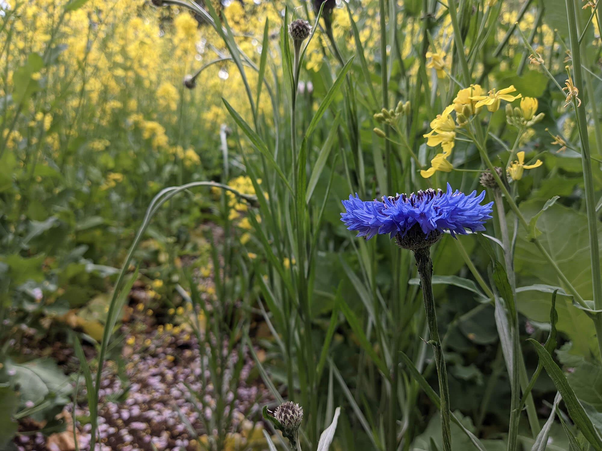 Redmi 9Tで撮影した青い花と菜の花