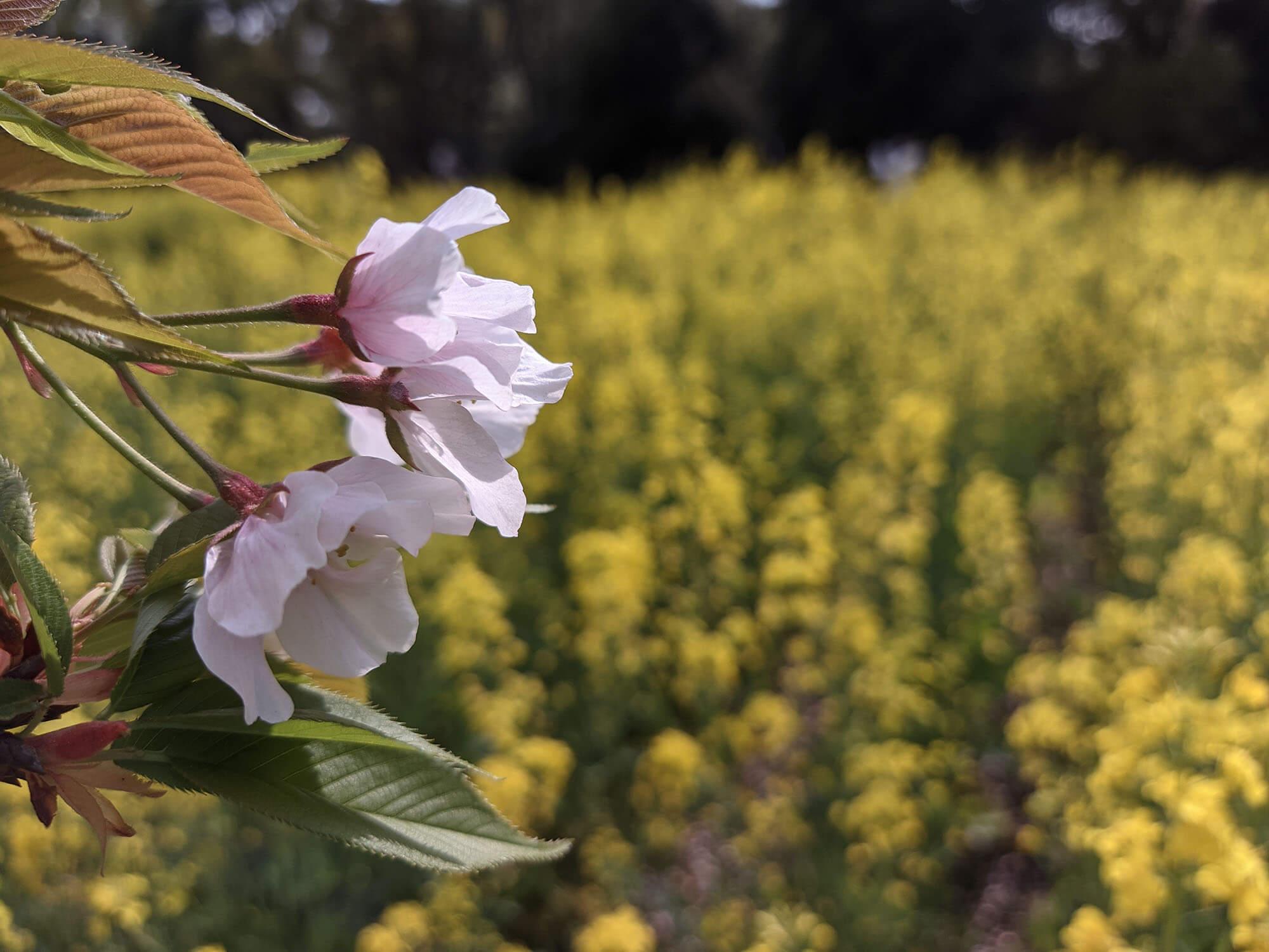 Redmi 9Tで撮影した桜と菜の花