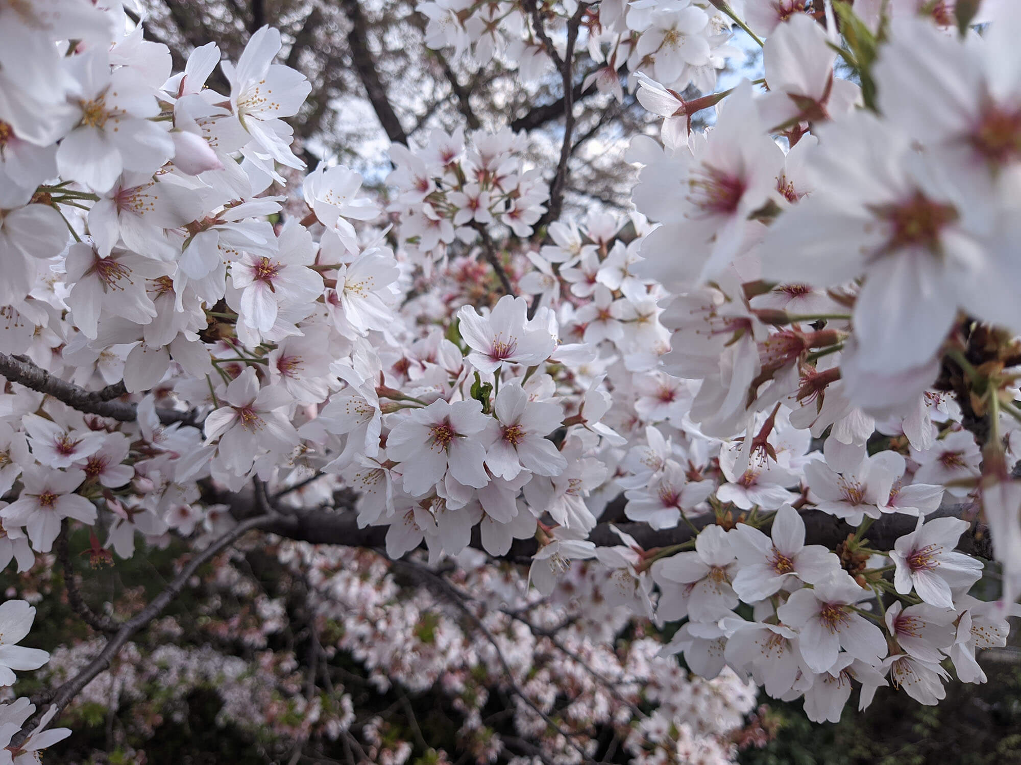 Redmi 9Tで撮影した桜の写真