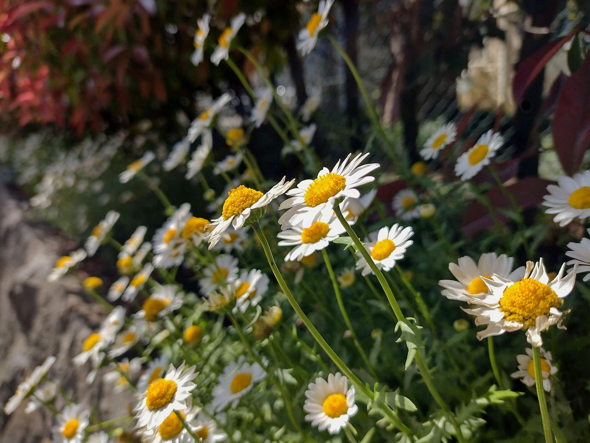 moto g30で撮影した白い花の写真