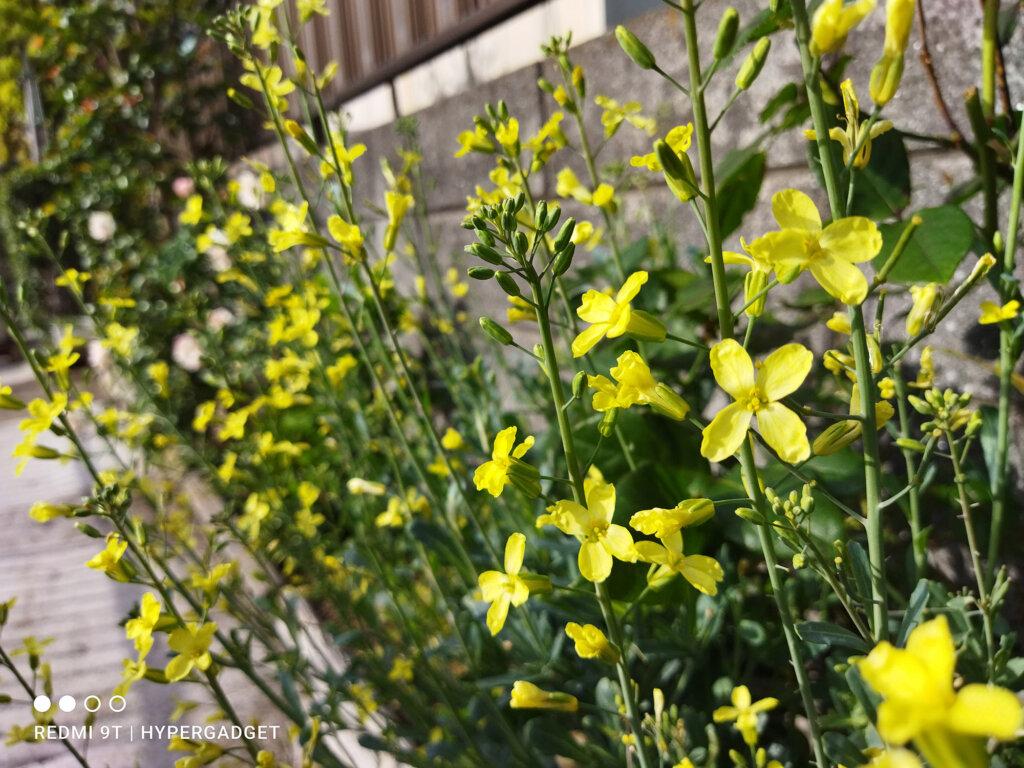 Redmi 9Tのカメラで撮影した黄色い花