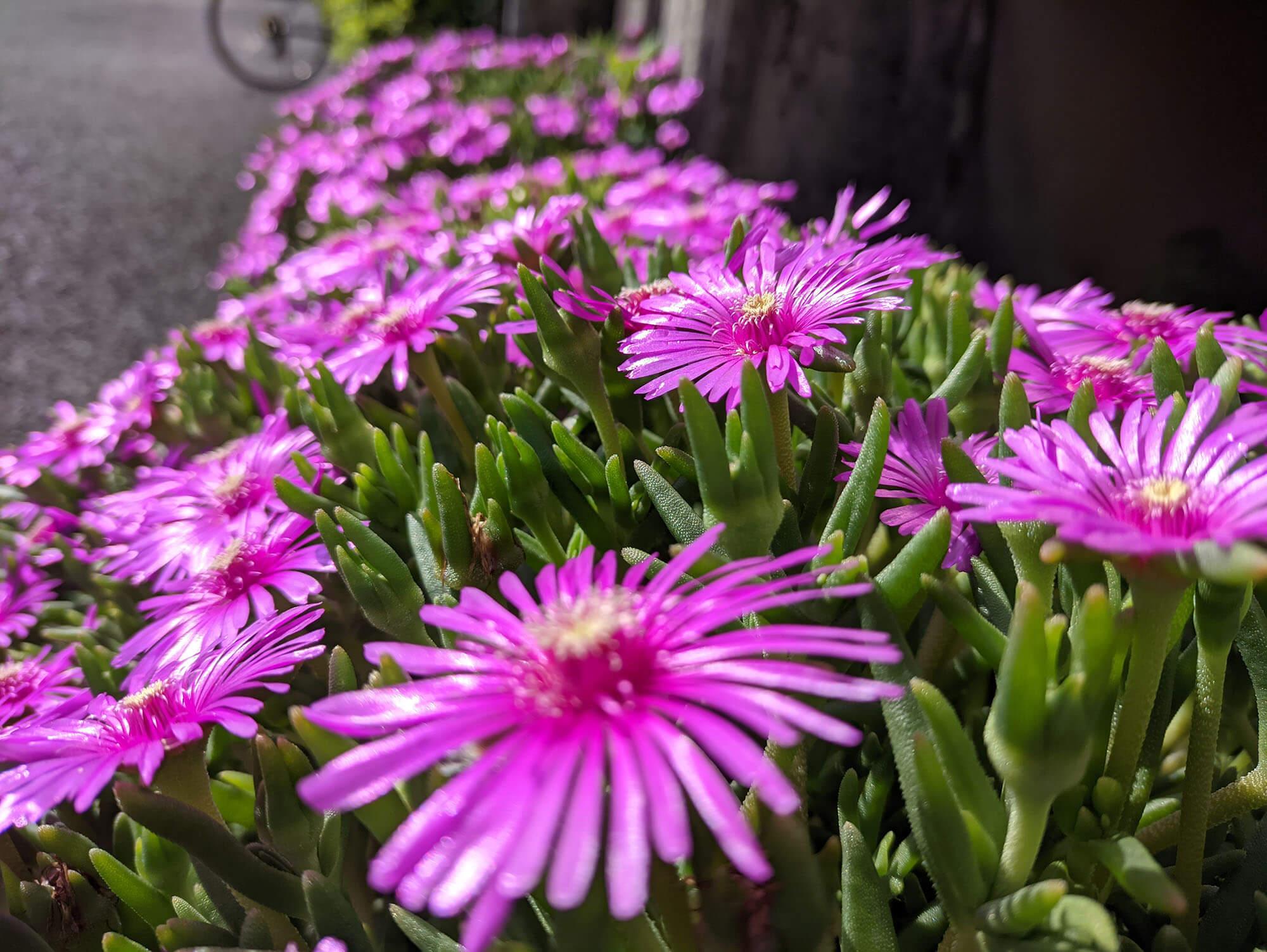 moto g30で撮影したピンクの花の写真