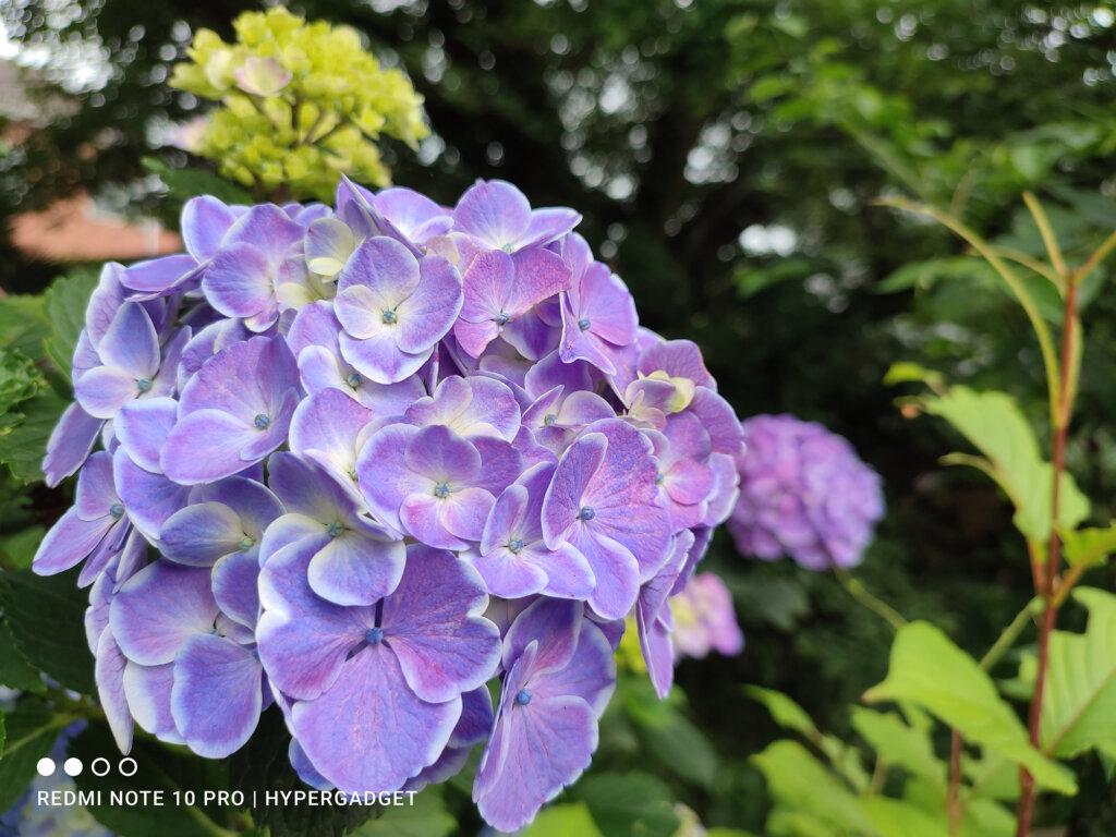 紫陽花の画像1