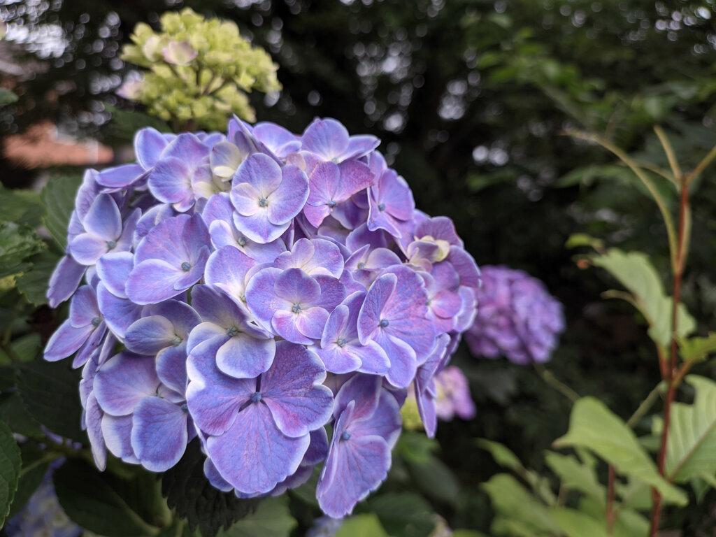 紫陽花の画像2」