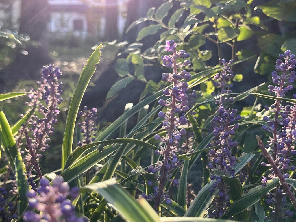 iPhone 13で撮影した紫の花